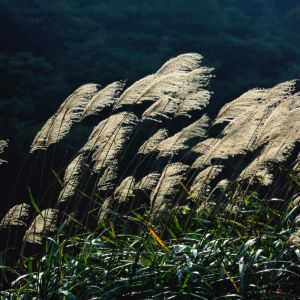 橡樹和蘆葦