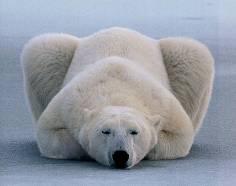 動物園裡的熊為何不會冬眠?