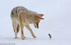 鑽在狼懷裏取暖的猴子