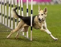 為什麼混種狗比陪純種狗還要健康?