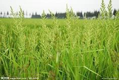 莊稼與雜草