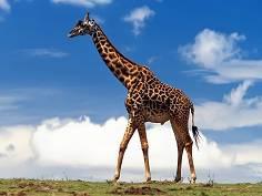 長頸鹿身上的斑點是否過於醒目,容易被敵人發現?