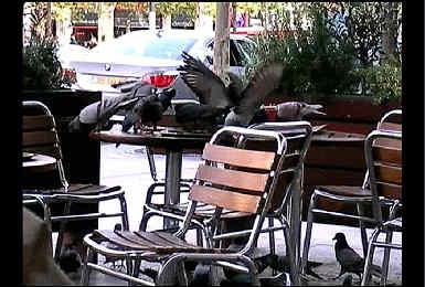 法國鴿子是這樣討生活的