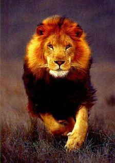 選狼還是選獅子?