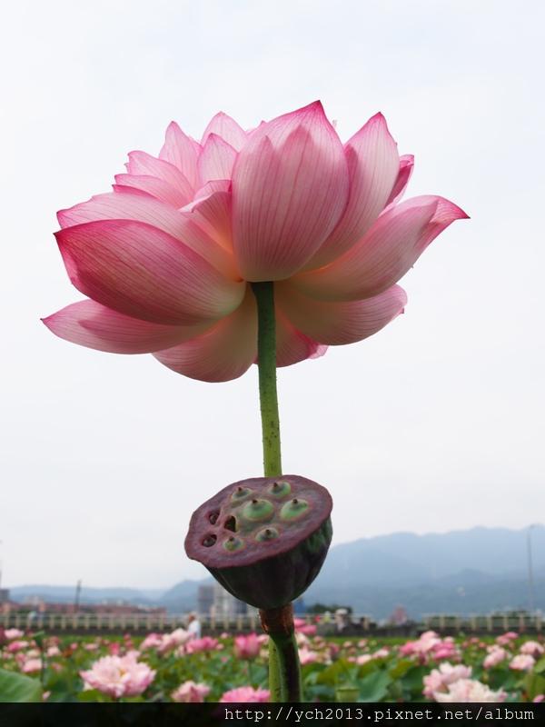 0628金山牡丹蓮 (24).JPG
