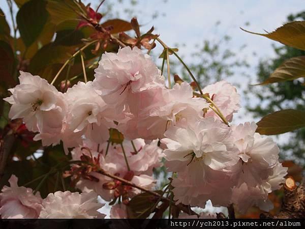 20140406尖石八重櫻午前 (32).JPG