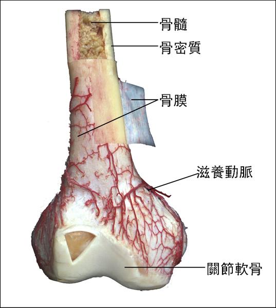 骨的構造.png