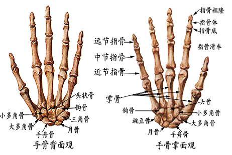 08_我們的骨頭~上肢骨~掌骨.JPG