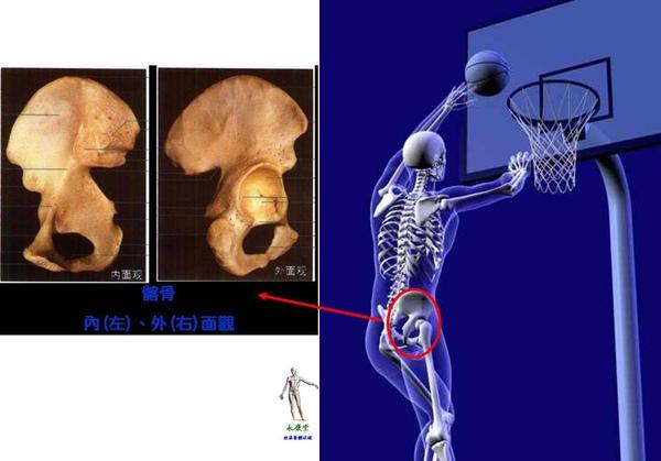 09_我們的骨頭~下肢骨~髂骨.JPG