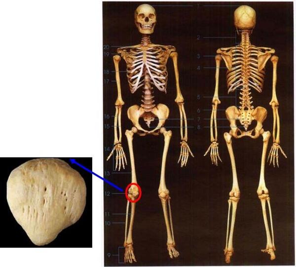 我們的骨頭~下肢骨~髕骨.JPG