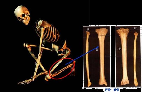 脛骨與腓骨1.JPG