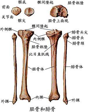 脛骨與腓骨.JPG