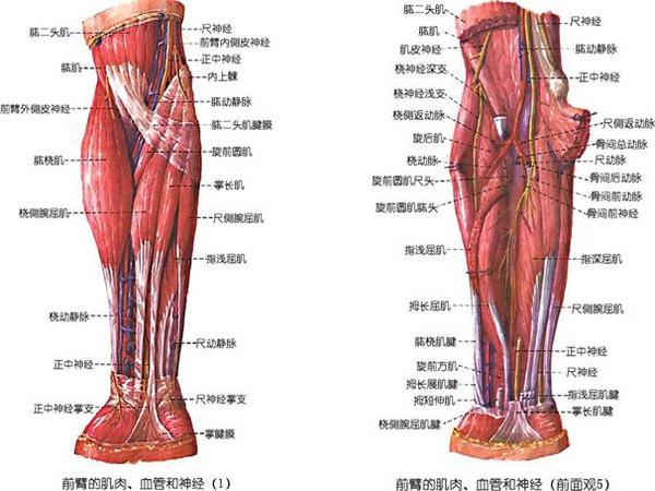 05_使臂在肘關節處運動的主要肌肉.JPG