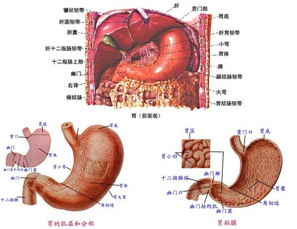 2-7-1_消化系統_3_胃.JPG