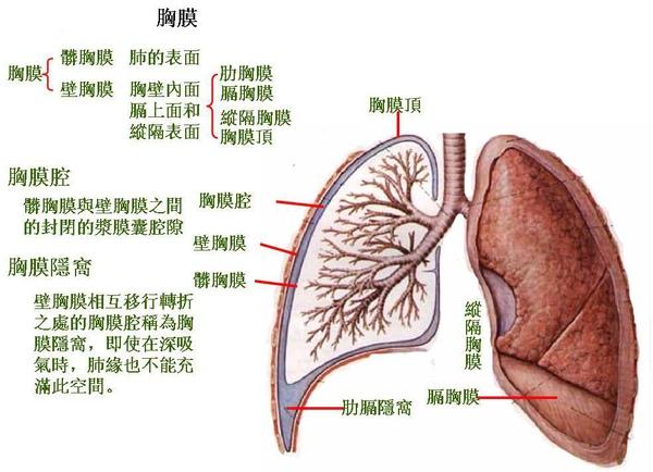 16_第五節   胸膜.JPG