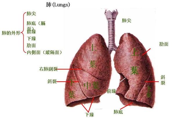 15_肺.JPG