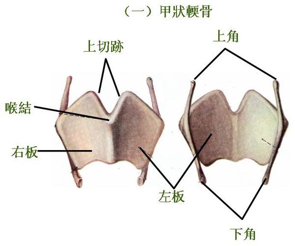05_喉_甲狀輭骨.JPG