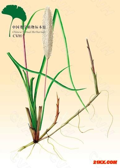 《中草藥學》09茅根:2