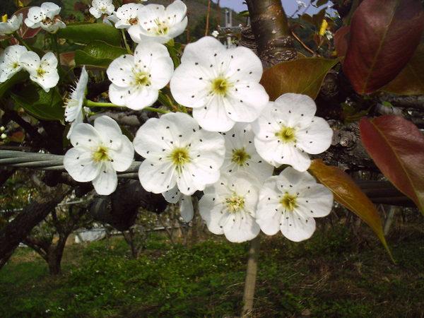 豐勢鐵馬道旁的梨花