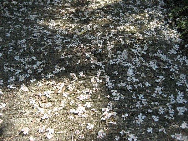 四月雪(桐花)
