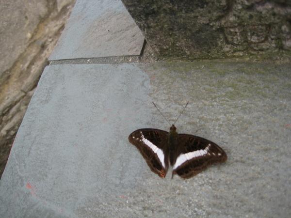 蝴蝶(七星山)