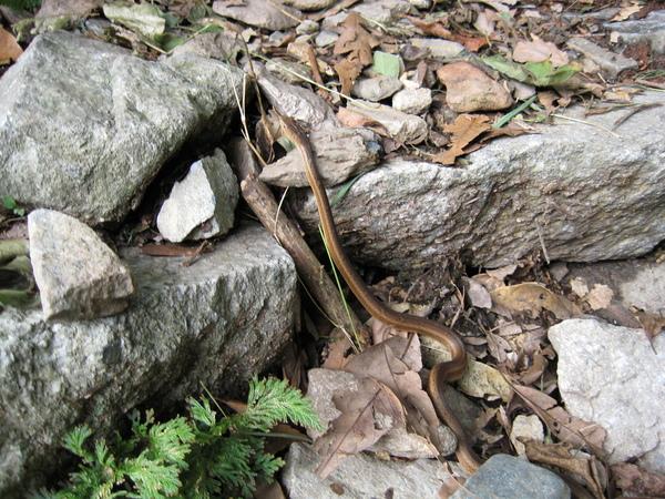 0908八仙山原住民(蛇)