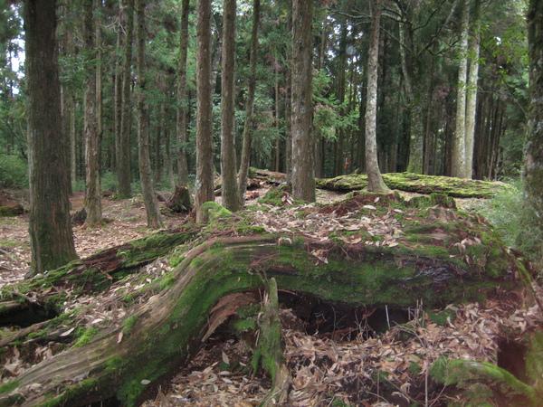 令人痛心的巨木墳場