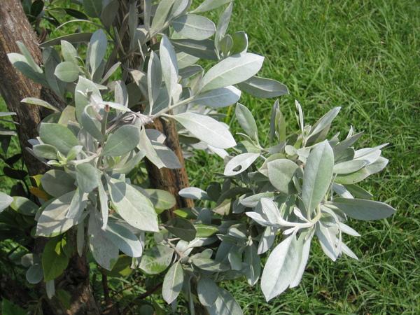銀葉鈕子樹