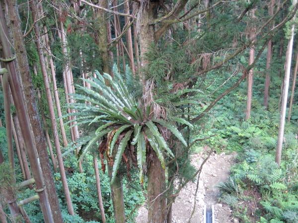 長在半樹腰的蕨類植物