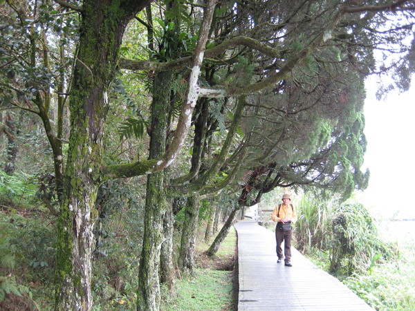 會排隊舉手敬禮的樹(涵碧步道)