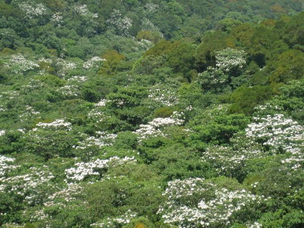 五月桐花(三角山)