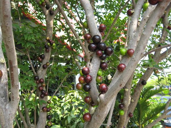 長在樹幹上的葡萄