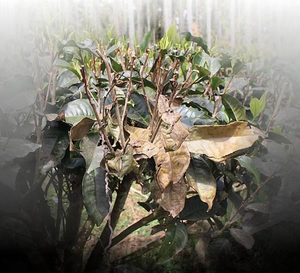 茶樹枯枝-2