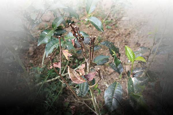 茶樹枯枝-1