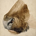 durer - muzzle of a bull 1523