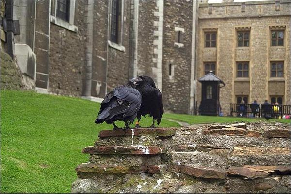 The ravens of the Tower of London.jpg