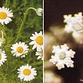 甘菊和甘菊对应的水结晶
