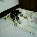 第一天,小秋已經選擇好睡覺的地方了 (991201 )