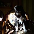 剛洗完澡的小毛姆爬到椅子上曬太陽
