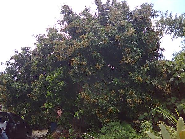 阿公時代留下來的龍眼樹