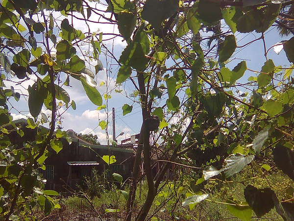 阿嬤生前種的釋迦樹;一顆釋迦(畫面正中央)