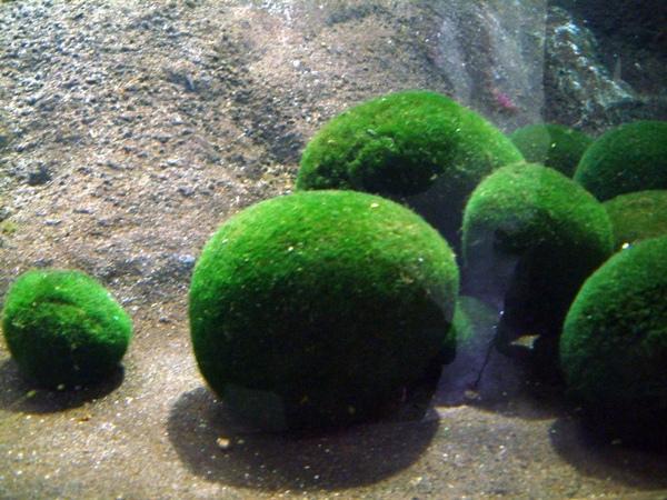 毬藻 マリモ