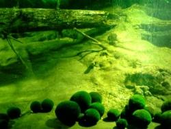 毬藻 Mari-mo