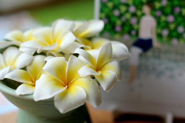 緬梔花(攝影:Tracy)