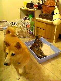 Luby:唉,時不予偶,竟然淪落到替貓把尿的地步....