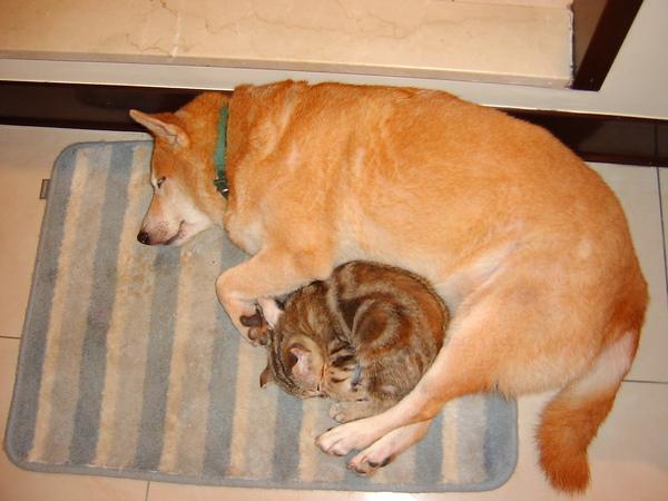貓咪:唔,老大不管,偶也繼續睡囉....好舒服~~