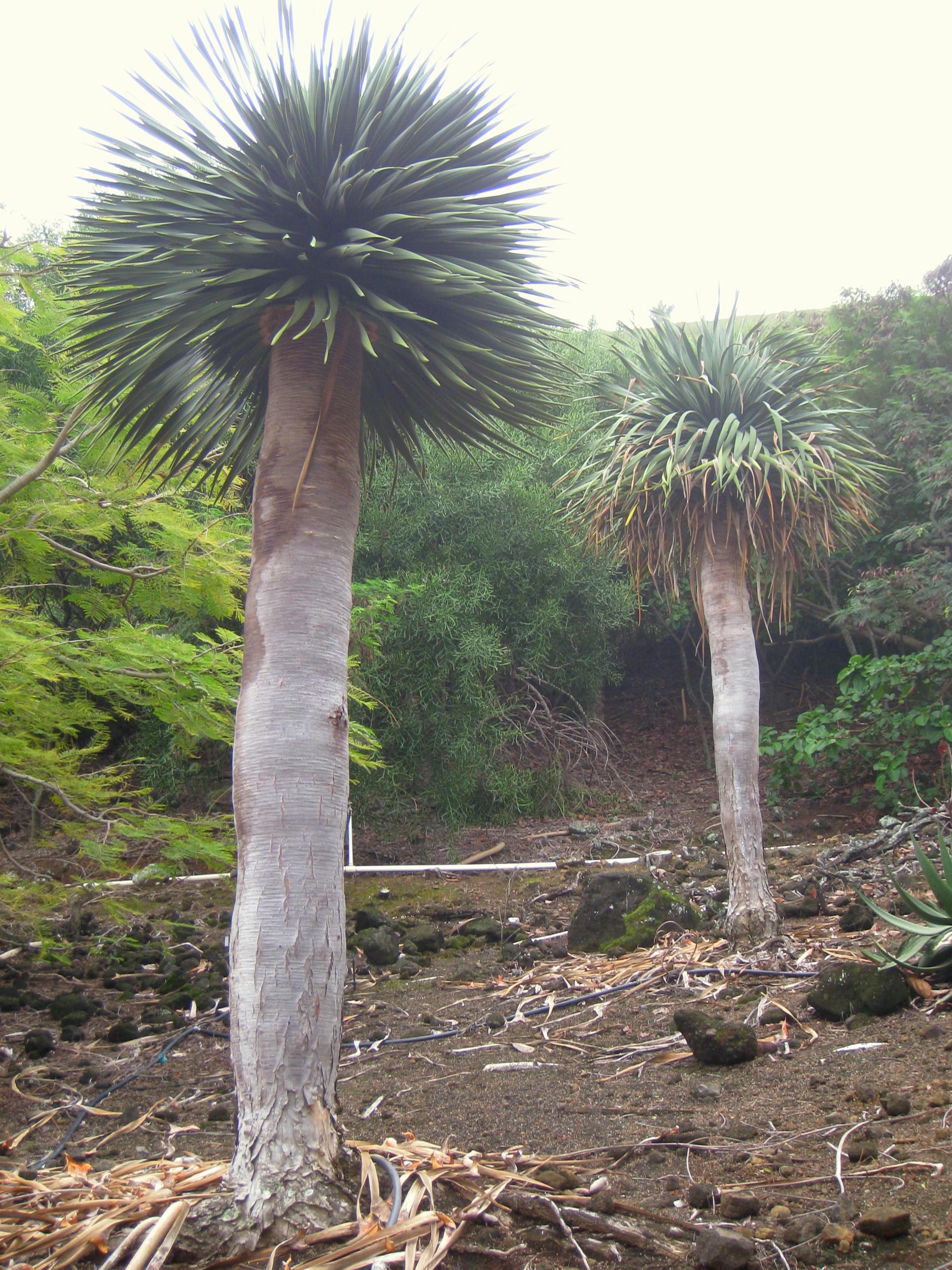 Dracaena cinnabari - Koko Crater Botanical Garden 栽於夏威夷可可火山口植物園(Koko Crater Botanical Garden)的索科特拉龍血樹。