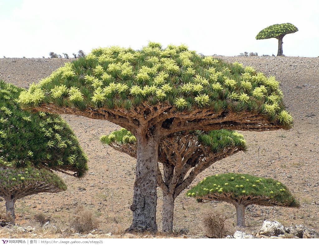 葉門龍血樹(圖片來源:塔塔克的草地 http://jucglin.blogspot.com/)