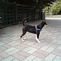 據說小毛姆具有獒犬的基因,瞧牠的站姿,真英挺啊!
