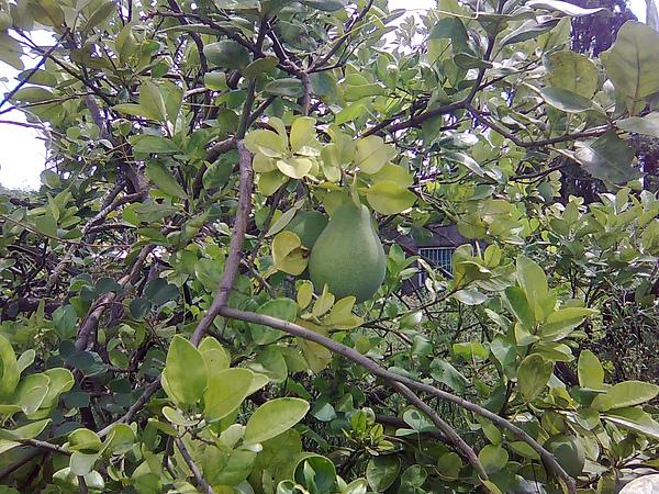 阿嬤生前種的柚子樹--不會吧?才五月節,連柚子都冒出來了...